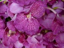 Petali dell'orchidea Fotografia Stock