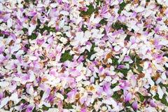 Petali della magnolia Fotografia Stock