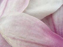 Petali della magnolia Immagini Stock