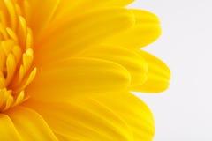 Petali della margherita della gerbera come fondo Fotografia Stock Libera da Diritti
