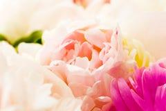 Petali della peonia fotografie stock