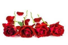 Petali delle rose rosse su un fondo bianco Fotografia Stock