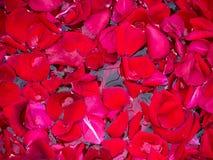 Petali di amore Fotografia Stock Libera da Diritti