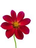 Petali di colore rosso del fiore Fotografia Stock