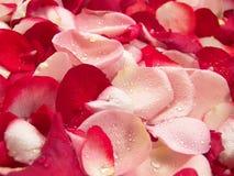 Petali di Rosa Fotografie Stock