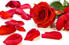 Petali di rosa caduti Immagini Stock Libere da Diritti