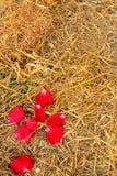 Petali di Rosa ed erba asciutta Fotografia Stock Libera da Diritti