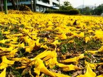 Petali di rosa gialli Fotografia Stock