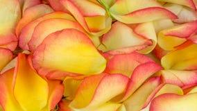 Petali di Rosa in molti colori Fotografia Stock