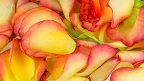 Petali di Rosa in molti colori Fotografie Stock Libere da Diritti