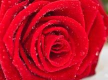 Petali di rosa rossa Fotografia Stock