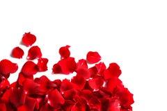 Petali di rosa rossi su priorità bassa bianca Fotografia Stock Libera da Diritti
