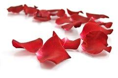Petali di rosa rossi su priorità bassa bianca Fotografia Stock