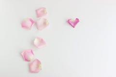 Petali di Rosa su priorità bassa bianca fotografia stock