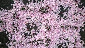 Petali di Sakura Immagini Stock Libere da Diritti