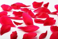 Petali di un fiore un papavero Fotografia Stock