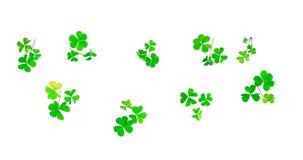 Petali differenti del trifoglio isolati su fondo bianco StPatric Fotografie Stock