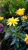 Petali gialli Fotografie Stock