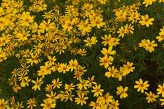 Petali gialli luminosi del fiore di coreopsis Immagine Stock Libera da Diritti