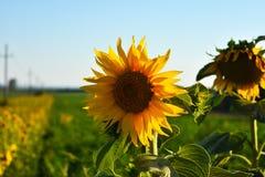 Petali illuminati dai raggi del sole fotografie stock libere da diritti
