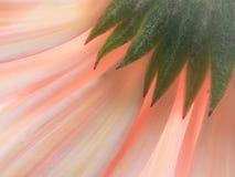 Petali pastelli di una margherita della gerbera fotografie stock libere da diritti