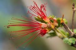 Petali ricci rossi unici del fiore dello spolveratore della piuma Fotografie Stock Libere da Diritti