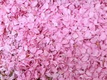Petali rosa immagine stock
