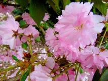 Petali rosa del fiore di ciliegia che mettono su una terra della corteccia Immagine Stock