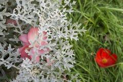 Petali rosa del fiore sopra la pianta del mugnaio polveroso fotografie stock