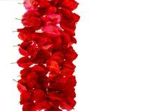 Petali rosa della buganvillea  Fotografie Stock Libere da Diritti
