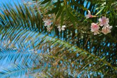 Petali rosa leggeri in cielo blu Fotografia Stock Libera da Diritti
