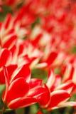 Petali rossi del fiore del tulipano con i lati bianchi Immagine Stock