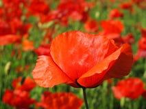 Petali rossi del papavero Fotografie Stock Libere da Diritti
