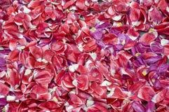 Petali rossi del tulipano Fotografia Stock