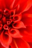 Petali rossi di un fiore Fotografie Stock Libere da Diritti