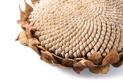 Petali secchi del girasole bianchi fotografia stock libera da diritti