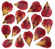 Petali secchi ed urgenti del fiore del tulipano Isolato su priorità bassa bianca Fotografie Stock