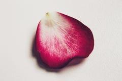 petalo Fotografia Stock Libera da Diritti