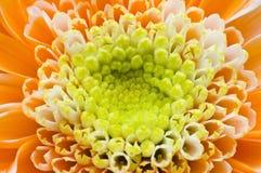 Petalo arancione a macroistruzione del fiore Fotografie Stock Libere da Diritti