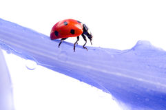 Petalo del fiore con il ladybug Fotografia Stock Libera da Diritti