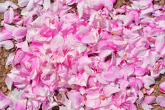 Petalo del fiore della ciliegia Fotografia Stock Libera da Diritti