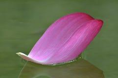 Petalo del fiore di Lotus Immagini Stock
