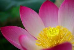 Petalo del fiore di Lotus fotografia stock
