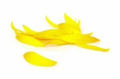 Petalo del fiore di Sun Fotografia Stock