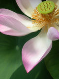 Petalo del loto Fotografia Stock