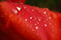 Petalo del tulipano Fotografie Stock
