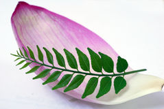 Petalo dentellare del loto e foglio verde del curry fotografie stock libere da diritti