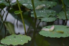 Petalo di Lily Lotus di rosa di illusione nello stagno fotografia stock libera da diritti