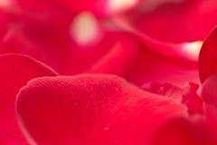 Petalo di Rosa Fotografia Stock