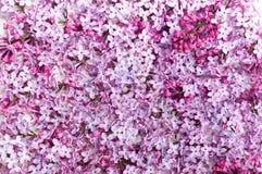 Petalo lilla su priorità bassa bianca Immagine Stock Libera da Diritti